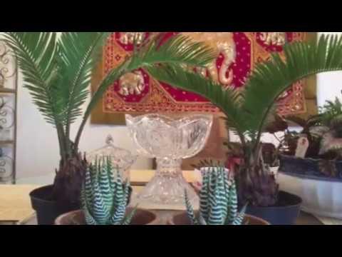 Саговая пальма или Саговник Цикас как за ними ухаживать Плюс лирические отступления со счастья