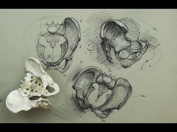 ANATOMY FOR ARTISTS The Pelvis Constructions and general parts to know for drawing