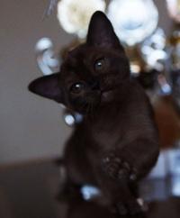 Котенок породы БУРМА....Маленькая шоколадка.