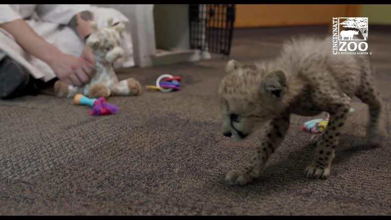 Гепардёнок Крис 7 недель Цинциннатский зоопарк