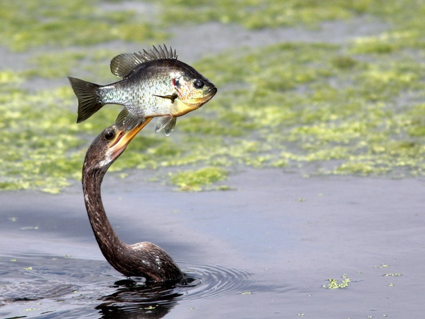 Змеешейка ловит рыбу У этой птицы длинное туловище и очень длинная змееподобная шея. Рыбу она ловит под водой. Острый клюв служит ей гарпуном, который она резко выбрасывает, распрямляя изогнутую