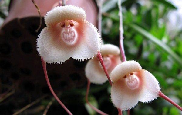 Орхидея Дракула (Обезьяна)