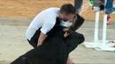 KO! Noqueado por una vaca ⭐ Top 5 Vaquillas Zaragoza ⭐ Parodia