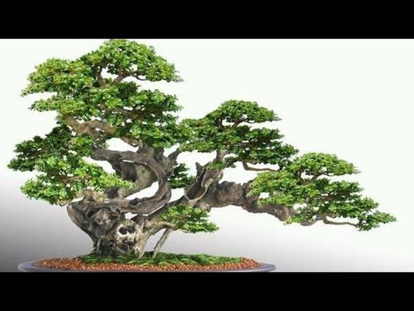 Kumpulan bonsai inspirasi di dunia
