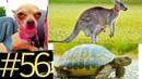 Кенгуру пытался утопить собаку Бегун пнул собаку Черепаха проиграла Жизнь животных