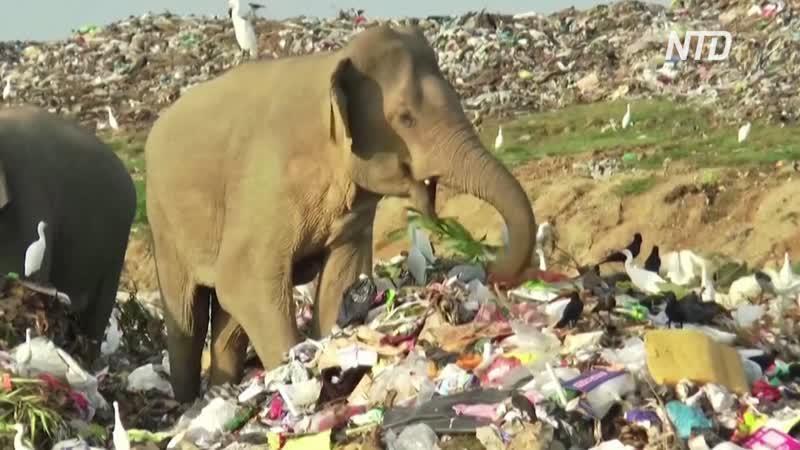 Дикие слоны кормятся на мусорных полигонах на Шри Ланке
