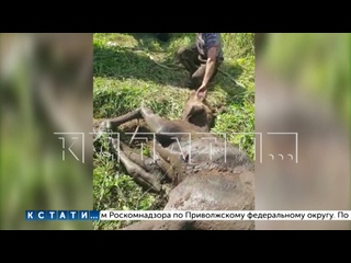 Лося, провалившегося в колодец, спасли с помощью бульдозера