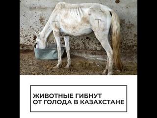 Животные гибнут от голода в Казахстане