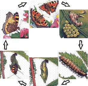 метаморфоз бабочки