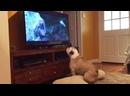 Собака дико переживает за Леонардо Ди Каприо в фильме Выживший. Сцена борьбы с медведем 2020