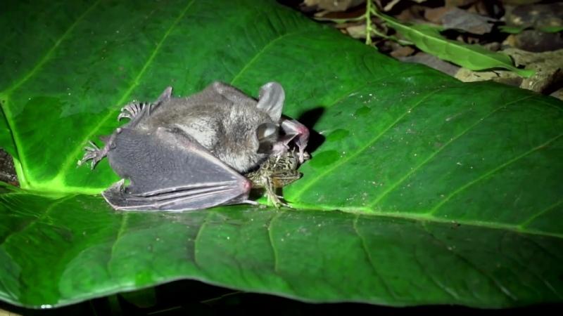 Люди почти уничтожили многие виды летучих мышей из за суеверных страхов и мифов