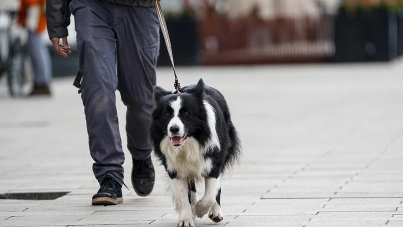 В Подмосковье резко возросло количество штрафов за неправильный выгул собак. Пол...
