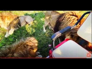 Львы ДЕЛЯТ МЯСО прямо в нашей машине!