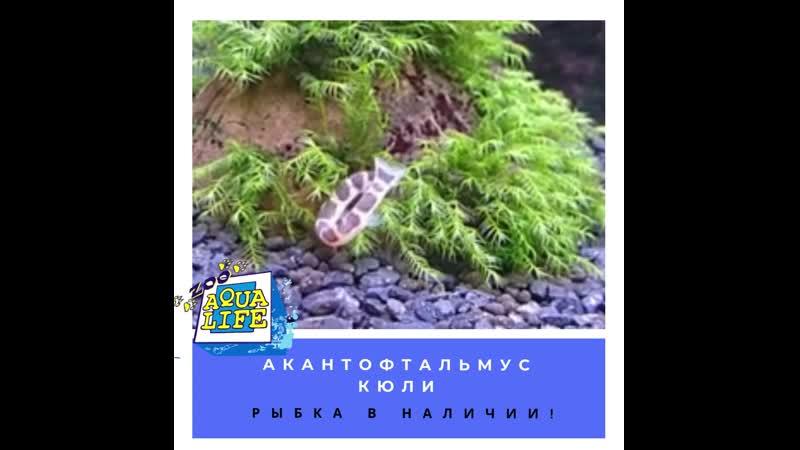Акантофтальмус Кюли