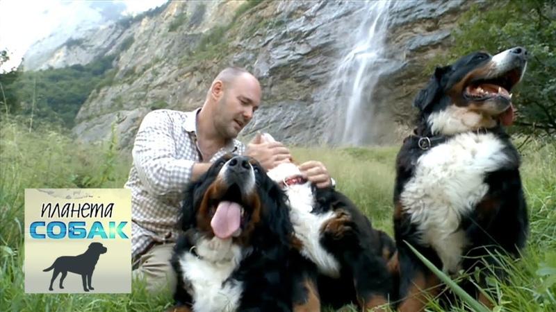 Бернский зенненхунд Планета собак 🌏 Моя Планета