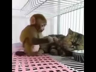 Милаха (хорошее настроение, позитив, домашнее видео, обезьянка и кот, кошка, киса, макака, пытка, забота, забавное, животные).