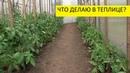 Первые работы в теплице с томатами. Ольга Чернова.