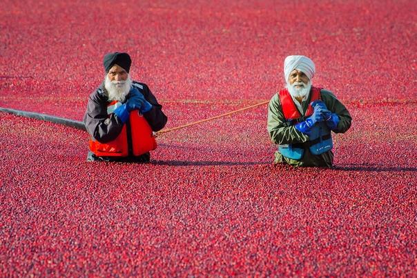 Сбор урожая клюквы в Ричмонде (Канада) Клюква растение болотное, но в сельском хозяйстве выращивается на сухой почве в низинах, орошаемых каналами. Ягоды вырастают размером с крупный шиповник и